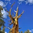 Photo: dd001437Bristlecone pine , Pinus longaeva,  Patriarch Grove, White Mountains, California, USA