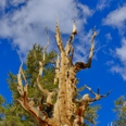 Photo: dd001439     Bristlecone pine, Pinus longaeva, Patriarch Grove, White Mountains, California, USA