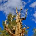 Photo: dd001439Bristlecone pine , Pinus longaeva,  Patriarch Grove, White Mountains, California, USA