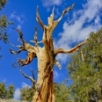 Photo: dd001532     Bristlecone pine, Pinus longaeva, Patriarch Grove, White Mountains, California, USA