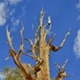 Photo: dd001544Bristlecone pine , Pinus longaeva,  Patriarch Grove, White Mountains, California, USA