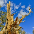 Photo: dd001545Bristlecone pine , Pinus longaeva,  Patriarch Grove, White Mountains, California, USA