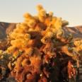 Photo: dd011043Cholla cactuses, Cylindropuntia fulgida, Joshua Tree National Park, California, USA