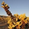 Photo: dd011047Cholla cactuses, Cylindropuntia fulgida, Joshua Tree National Park, California, USA