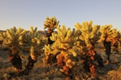 Photo: dd011048     Cholla cactuses , Cylindropuntia fulgida,  Joshua Tree National Park, California, USA