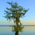 Photo: dd001523     Bald Cypress Tree , Taxodium distichum,  Blue Cypress Lake, Florida, USA