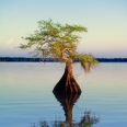 Photo: dd001524     Bald Cypress Tree, Taxodium distichum, Blue Cypress Lake, Florida USA