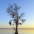 Photo: dd001712     Bald Cypress Tree , Taxodium distichum,  Blue Cypress Lake, Florida, USA