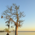 Photo: dd001713     Bald Cypress Tree , Taxodium distichum,  Blue Cypress Lake, Florida, USA