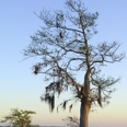 Photo: dd001715     Bald Cypress Tree , Taxodium distichum,  Blue Cypress Lake, Florida, USA
