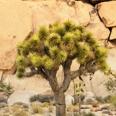 Photo: dd011039Joshua Tree , Yucca brevifolia,  Joshua Tree National Park, California, USA