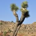 Photo: dd011040Joshua Tree , Yucca brevifolia,  Joshua Tree National Park, California, USA