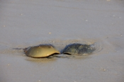 Photo: dd001999     Horseshoe Crab , Limulus polyphemus,  Delaware Bay, Fortescue, New Jersey, Atlantic, USA
