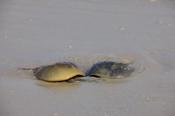Photo: dd001999Horseshoe Crab, Limulus polyphemus, Delaware Bay, Fortescue, New Jersey, Atlantic, USA