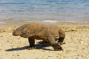 Photo: dd001798     Komodo Dragon , Varanus komodoensis,  Island Komodo, Indonesia